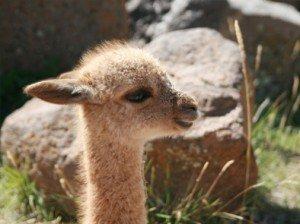Alpaca-Baby PERU