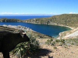 Kuh am Titicaca-See, PERU