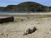 Schwein am Titicaca-See, PERU